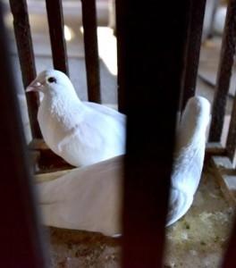 Die Tauben warten auf ihren Einsatz in der Tempelszene.